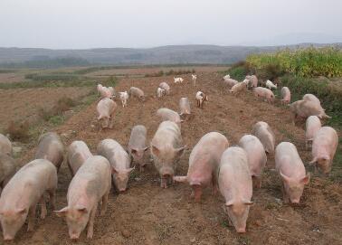 生态放养猪