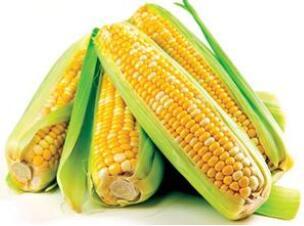 非转基因玉米