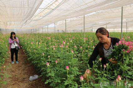 特色现代农业示范园千亩蔬菜采摘上市